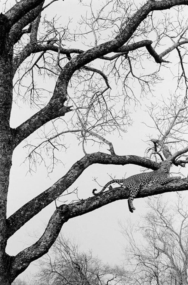 LEOPARD IN TREE, KRUGAR PARK, SOUTH AFRICA, 2008  ARCHIVAL PIGMENT PRINT