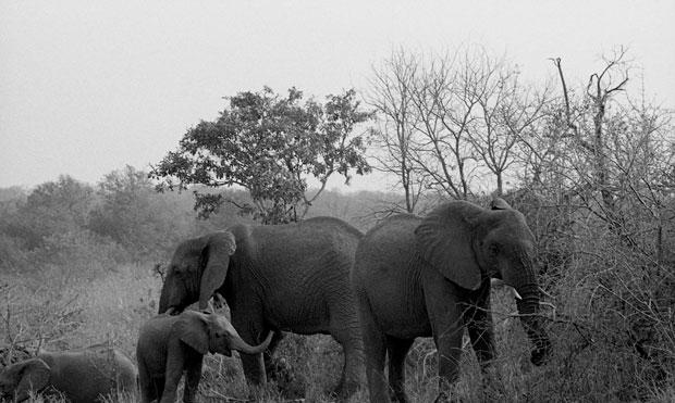 FAMILY OF ELEPHANTS, KRUGAR PARK, SOUTH AFRICA 2008  ARCHIVAL PIGMENT PRINT