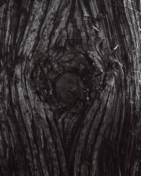 THUJA PLICATA - GIANT ARBORVITAE DETAIL #2, 2012  GELATIN SILVER PRINT