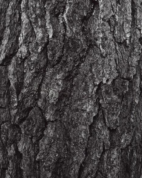 PINUS THUNBERGII - JAPANESE BLACK PINE, 2012  GELATIN SILVER PRINT