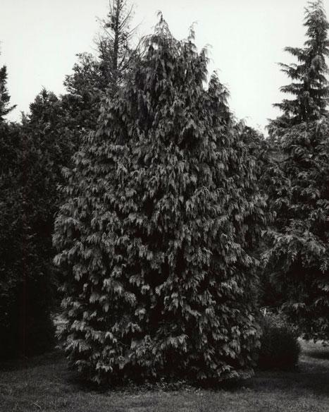 CHAMAECYPARIS NOOTKATENSIS PENDULA - WEEPING ALASKAN YELLOW CEDAR, 2012 GELATIN SILVER PRINT