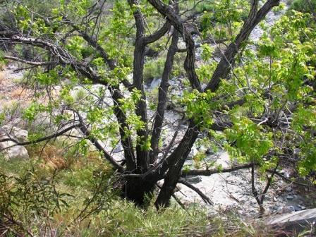 Junglans Californica // California Black Walnut
