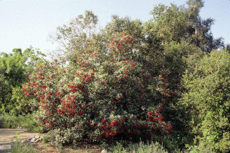 Heteromeles arbutifolia // Toyon