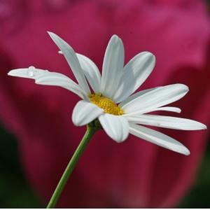 white-daisy-300x300.jpg