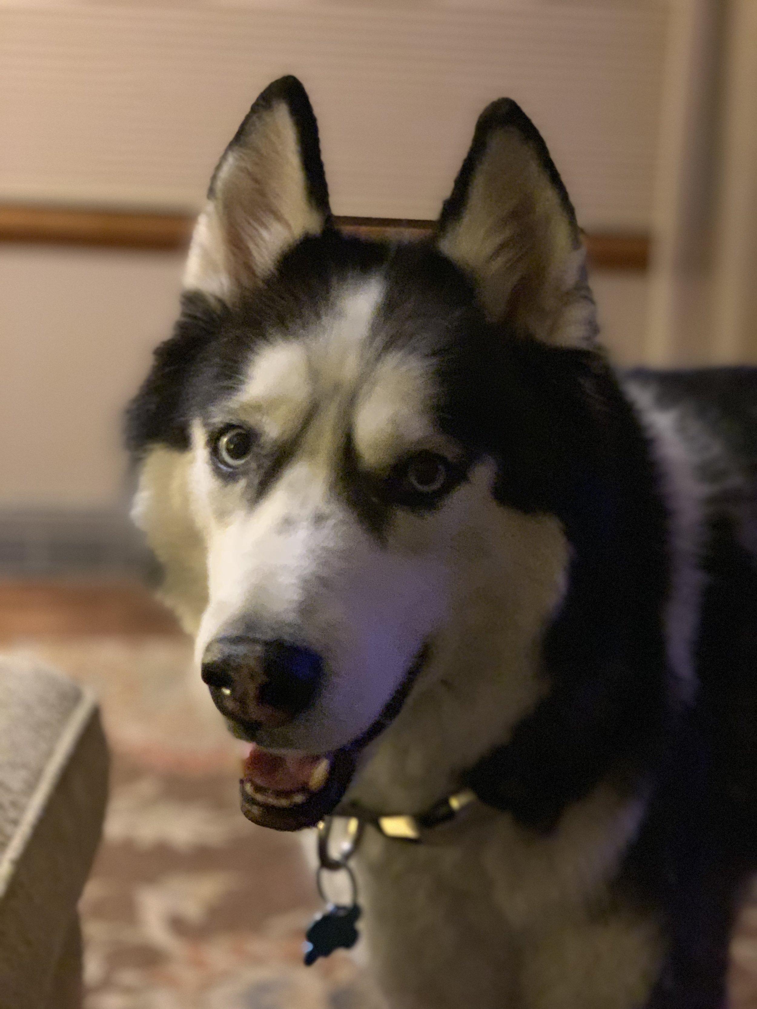 Our Siberian Husky Fritz.