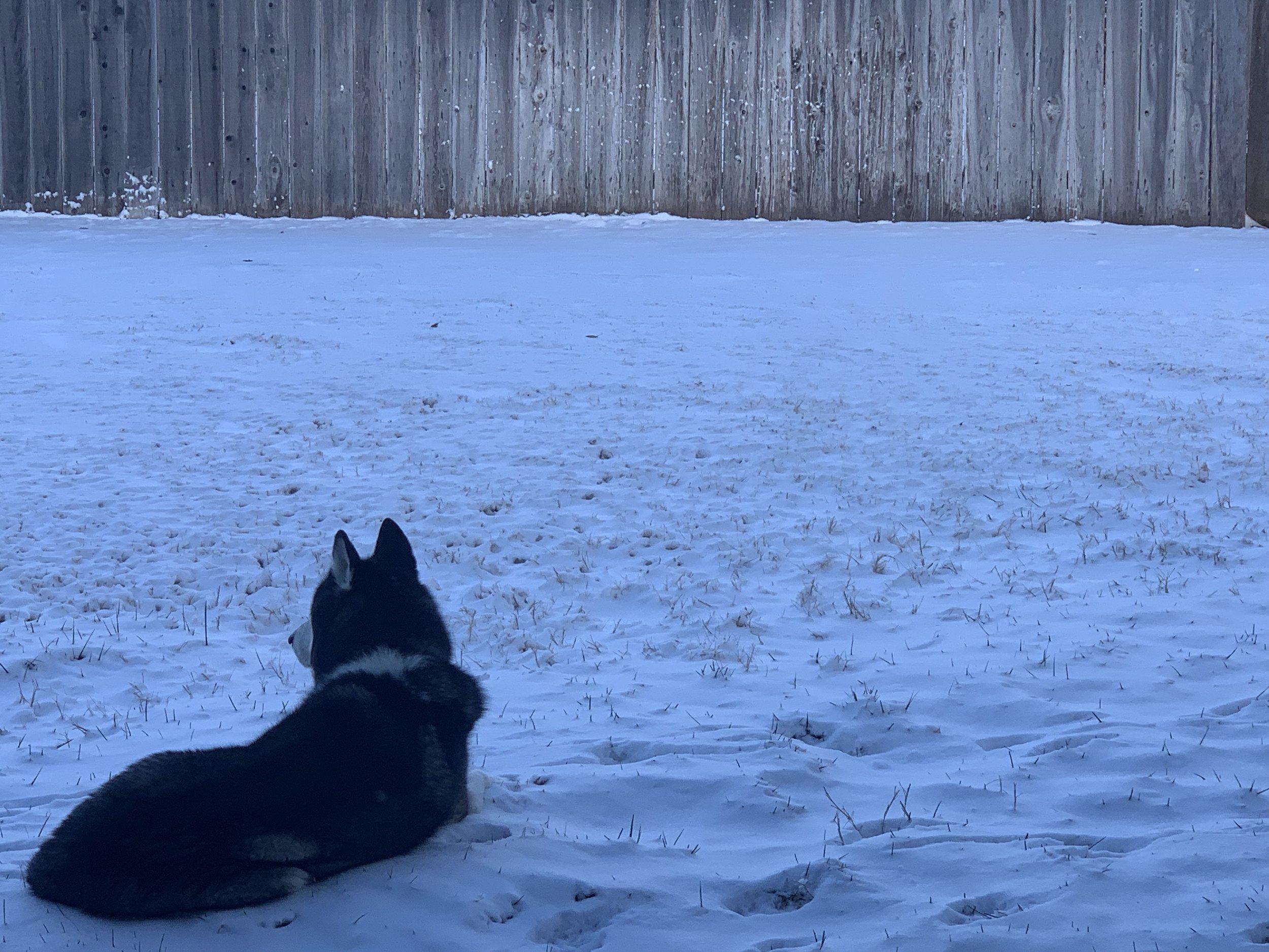 Snow Husky
