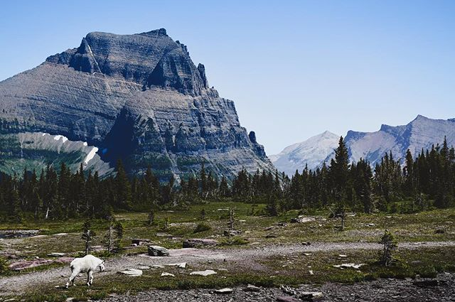 Glacier NP has over 700 miles of hiking trails. I can't wait to come back to this beautiful place. 🏔