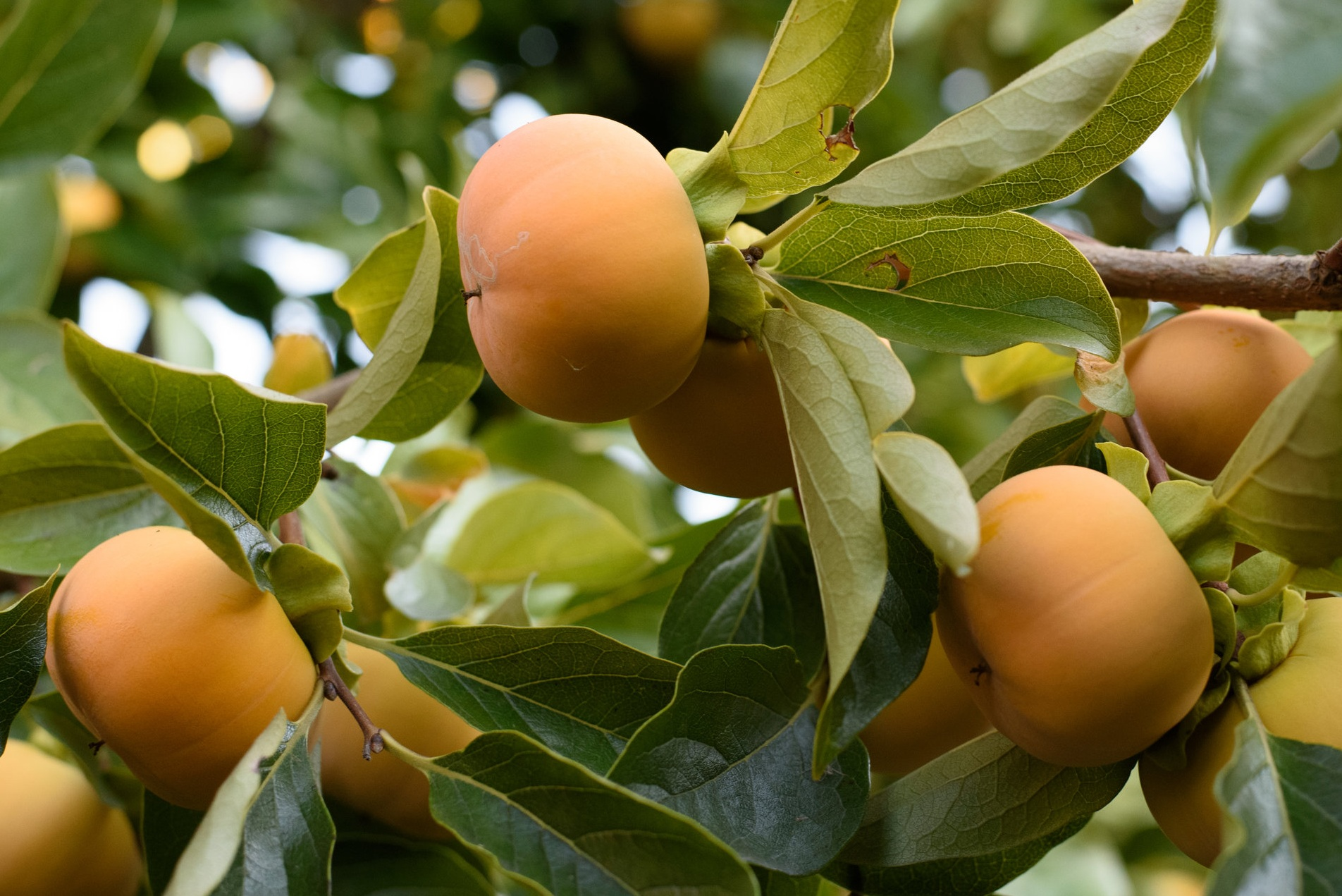 Project Persimmon - Selling backyard-harvested persimmons to local food establishments
