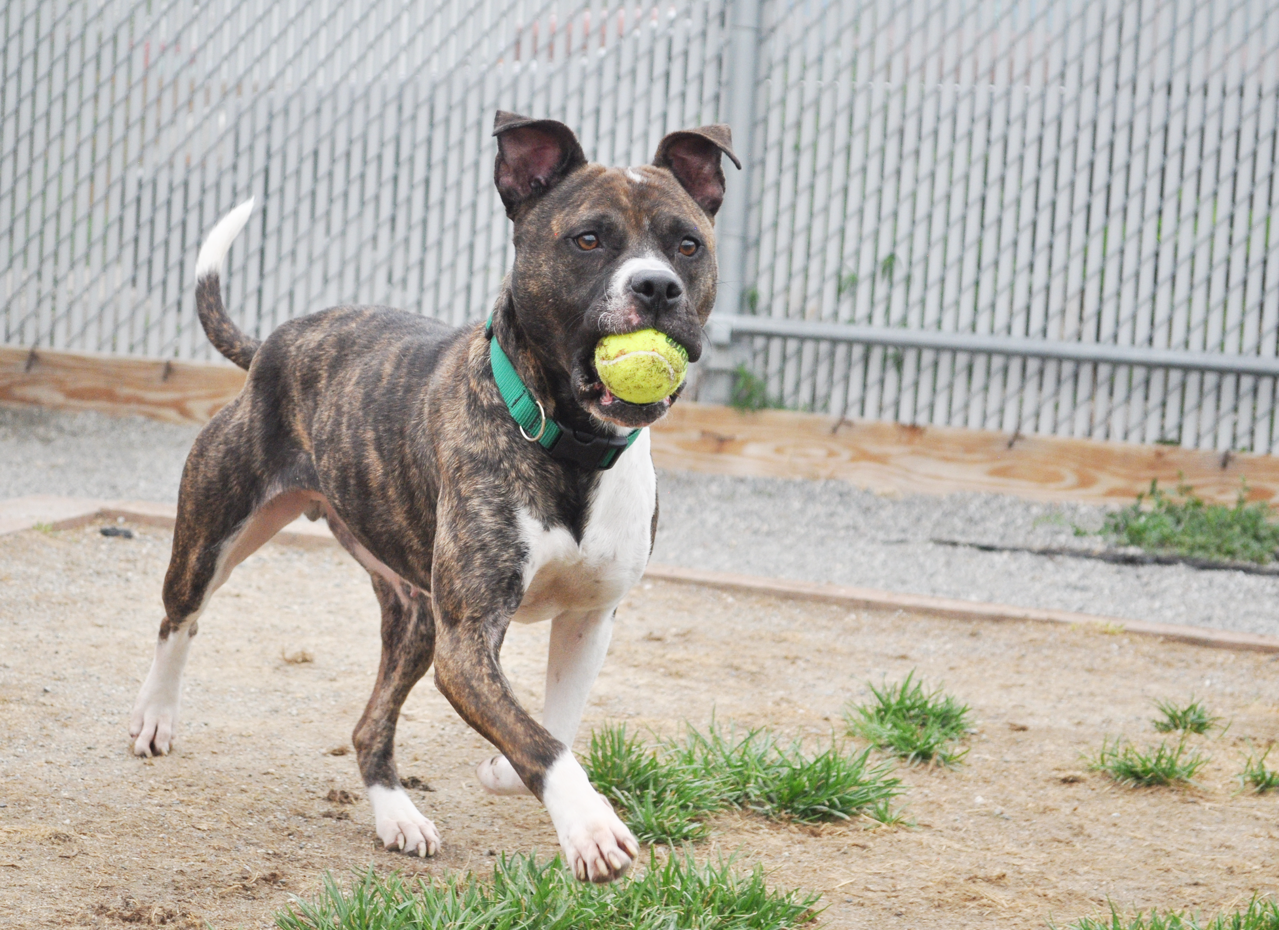 lilly-adoptable-dog-high-drive.png