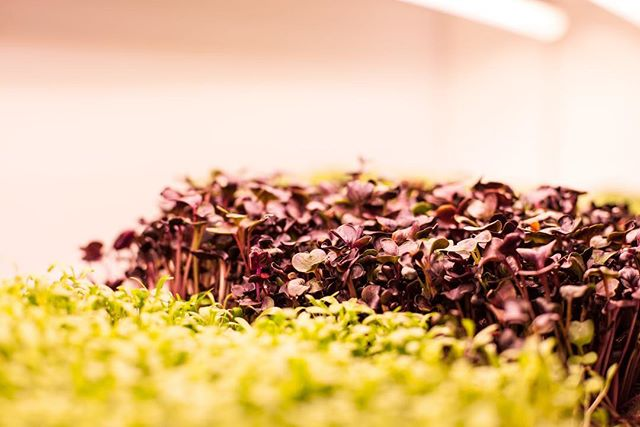 What comes to mind when you see our yummy microgreens? Comment your answers below!  #aquaponicsystem#aquaculture#instafarm#hydroponics#hydroponicgarden#gardening#gardeningtips#sustainablefood#sustainability#sustainablefarming#urbangarden#verticalgarden#verticalfarming#verticalgardens#verticalgardening#modernfarm#horticulture#plants#circulareconomy #growyourown#cleanfood#growyourfood#healthyfood#growinggreens#fish#water#food#fishandsalad#london#commentbelow