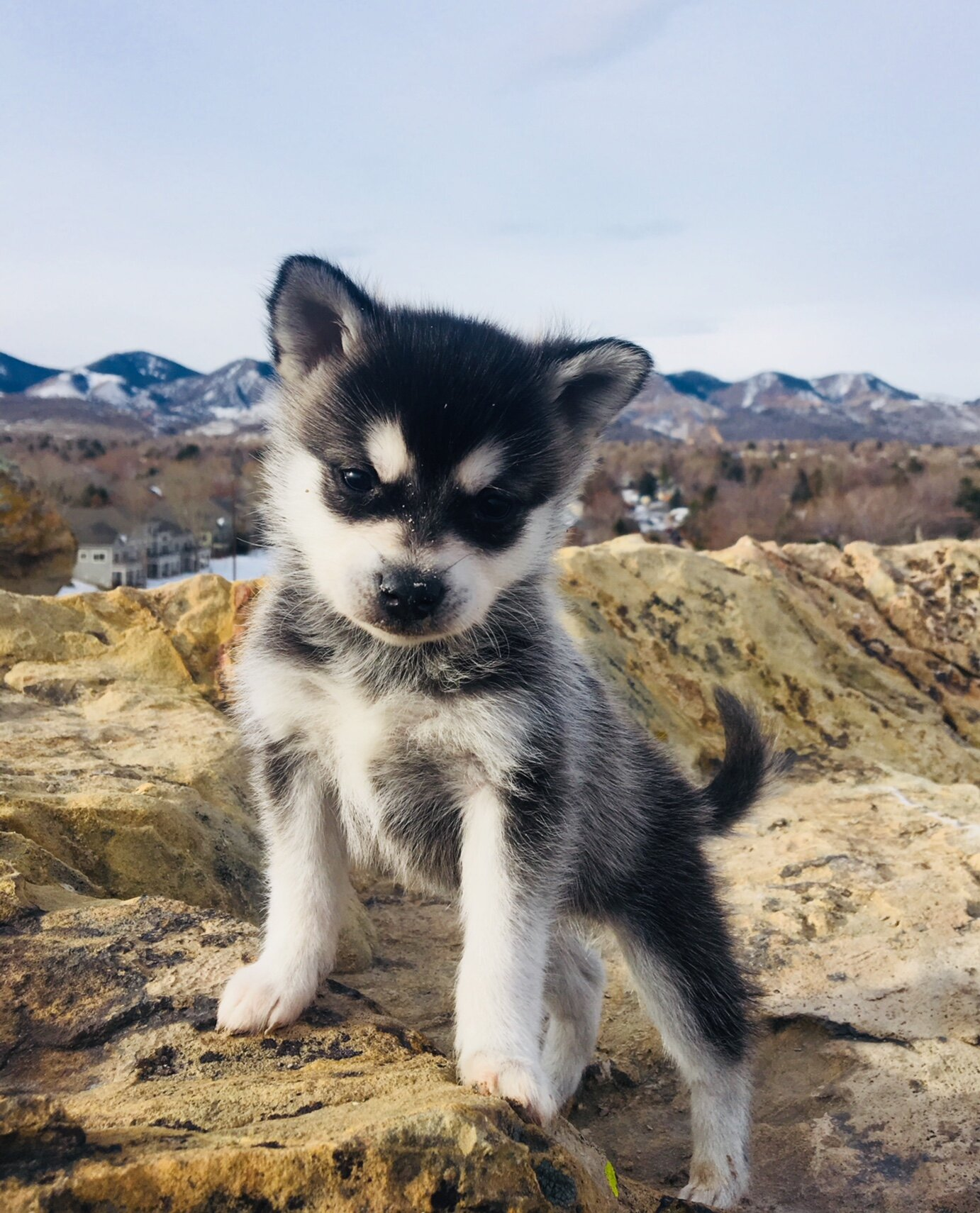 About Alaskan Klee Kai Colorado