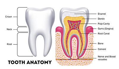 Tooth Anatomy.png