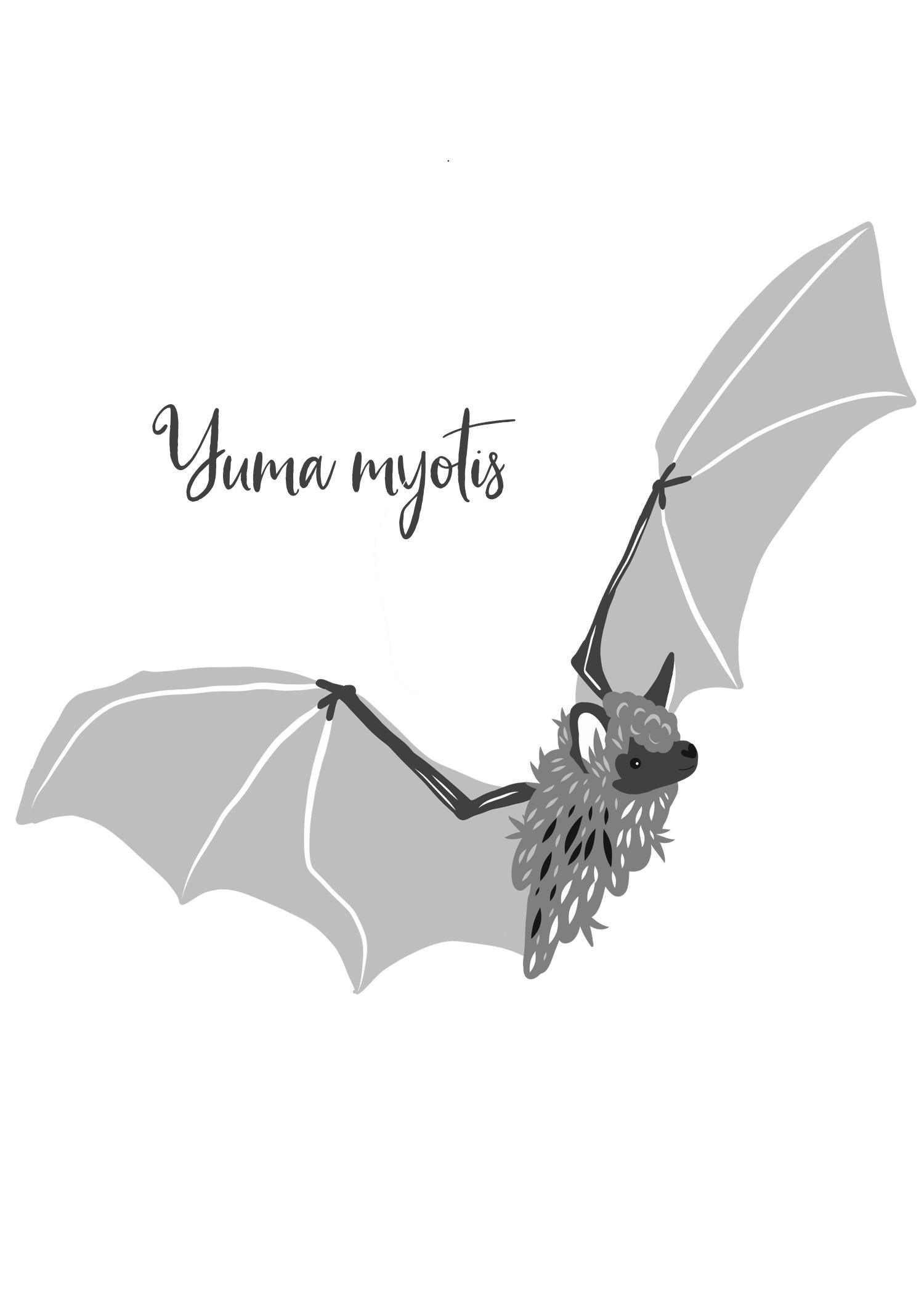 Yuma Myotis