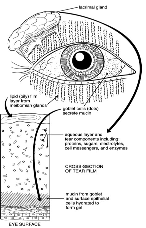 SL Maskin,  Reversing Dry Eye Syndrome:  Practical ways to improve you comfort, vision, and appearance   .  Yale University Press, May 2007  A healthy tear film includes 3 key elements: 1) the aqueous (watery) layer; 2) the lipid (oily) layer, produced by Meibomian Glands; and 3) mucin from goblet and surface epithelial cells to form a gel. These 3 systems work together to create a properly hydrated and comfortable eye, and each are required for the overall system to properly function. You physician will evaluate all 3 as part of a comprehensive dry eye diagnosis and treatment strategy.