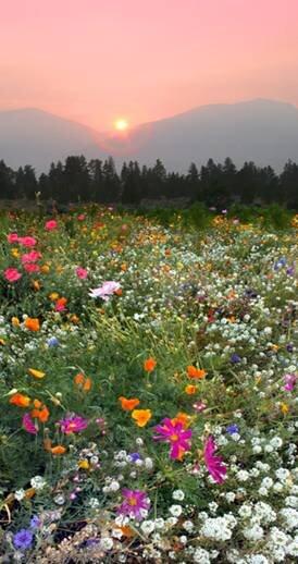 Bitterroot Wildflowers