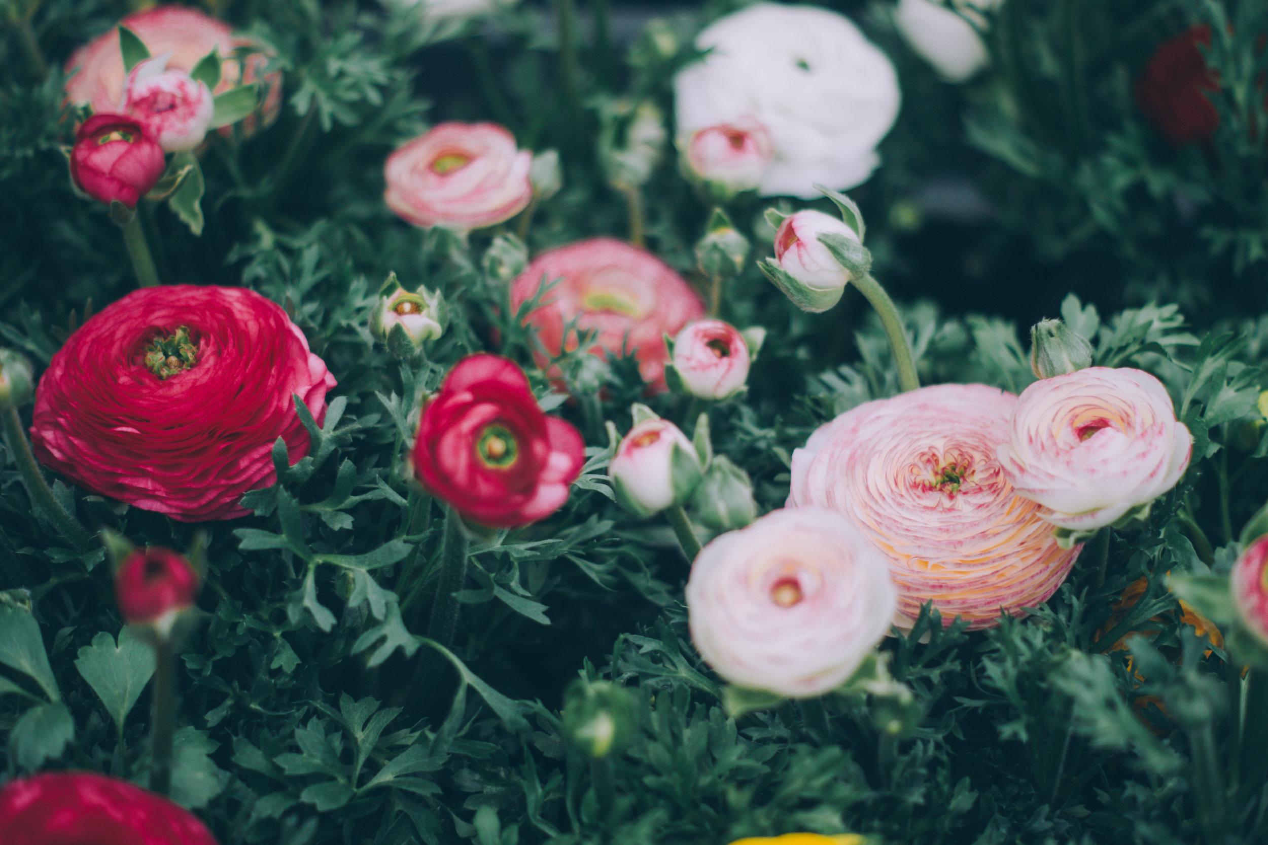 Ranunculus -