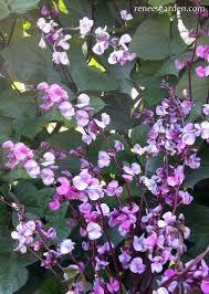 hyacinth bean -