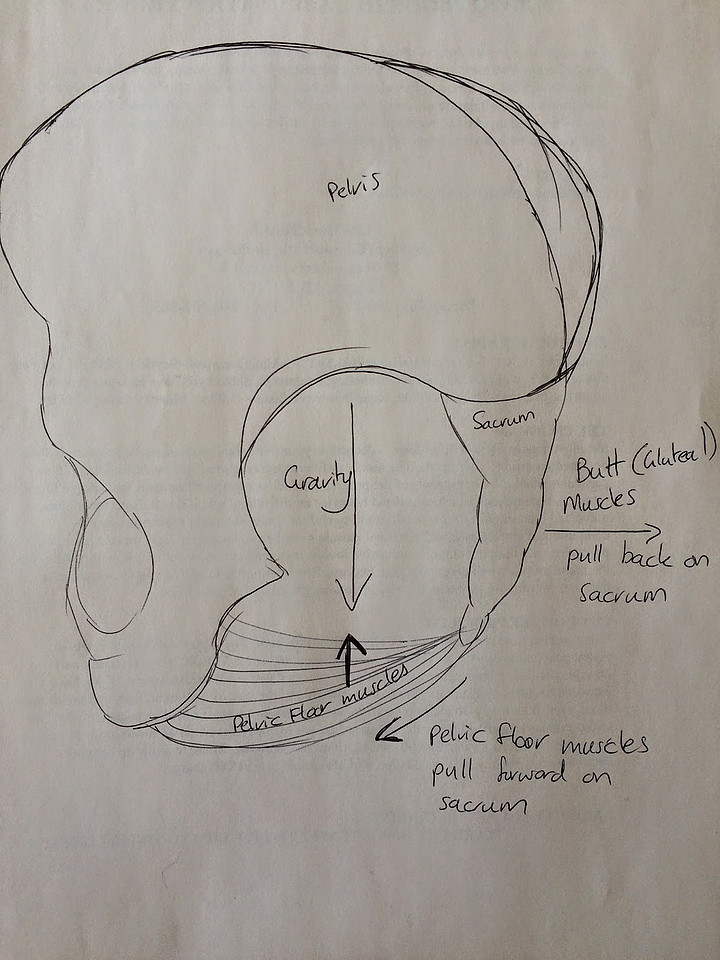 The diagram above is my very sophisticated attempt at showing how the gluteal muscles help to stabilize the sacrum by pulling backwards while the pelvic floor is contracting