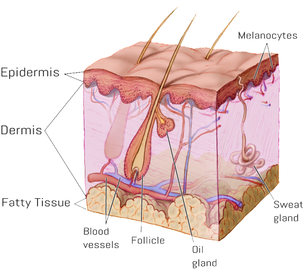 follicle2-622x551.png