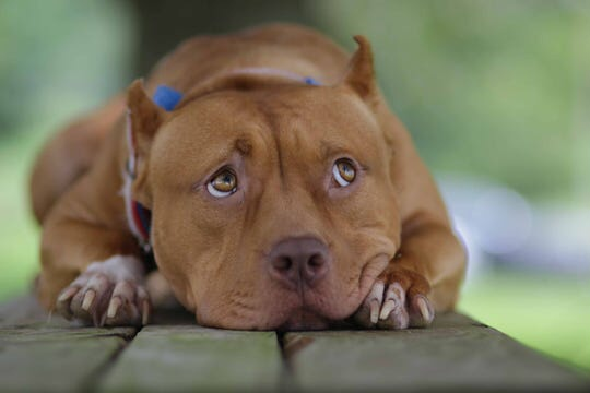 Red Pit Bull Terrier Sayuri wins Palm award