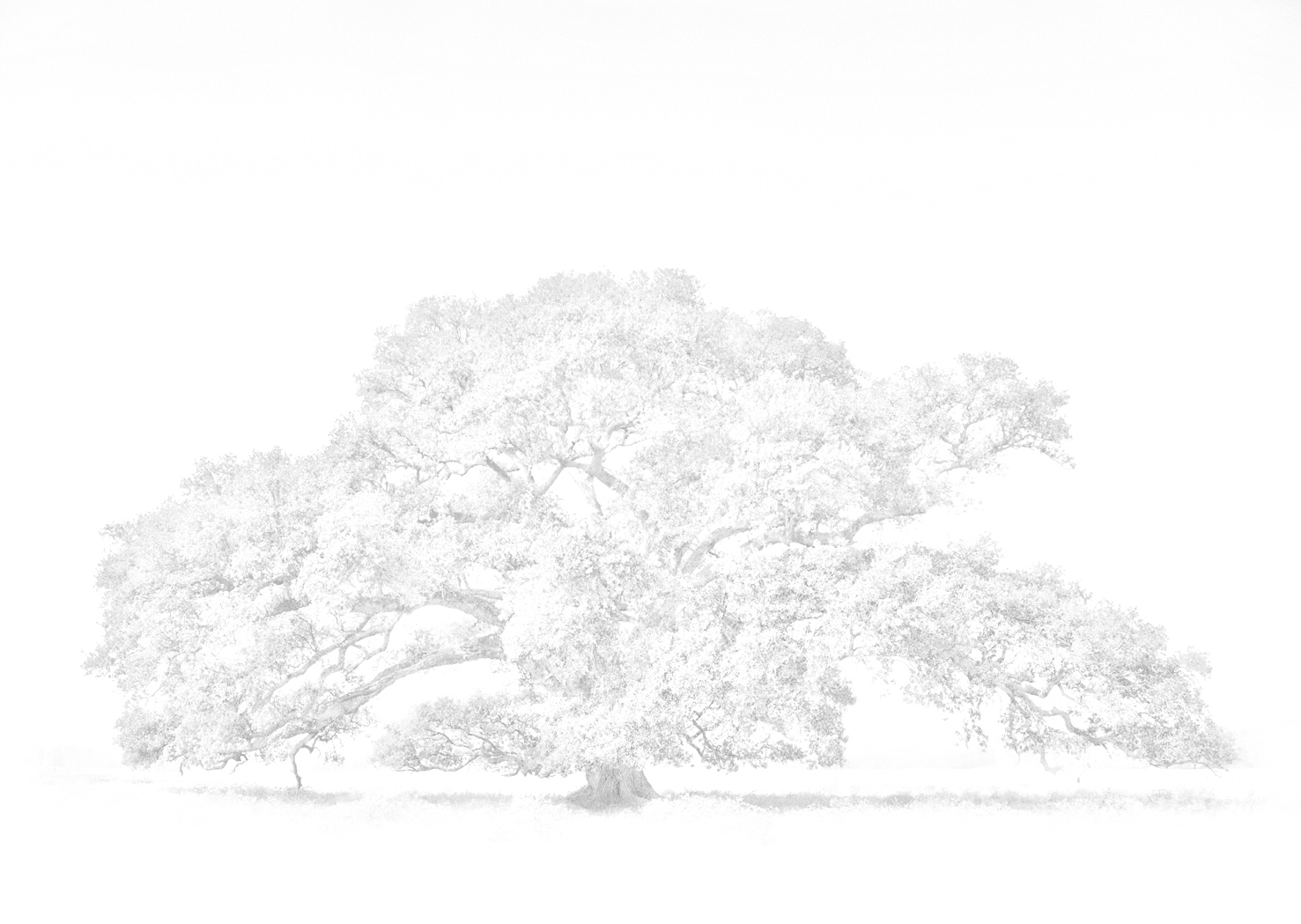 Illustration of lone oak tree in black and white