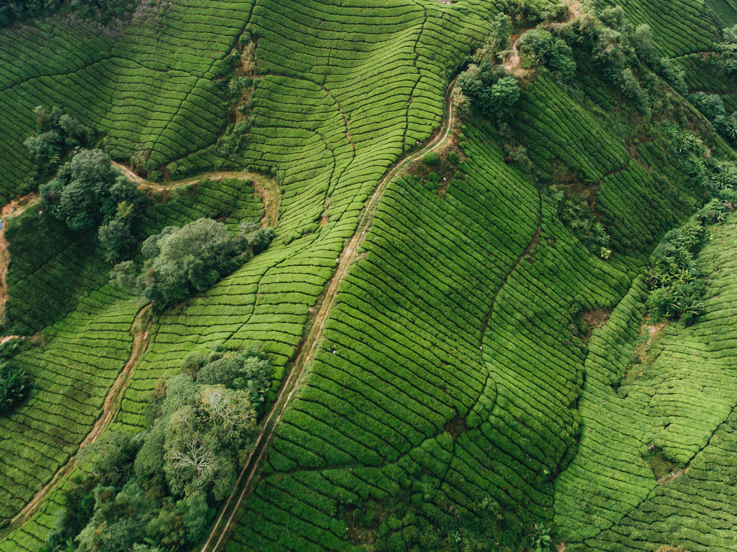 Boh Tea Plantation, Malaysia