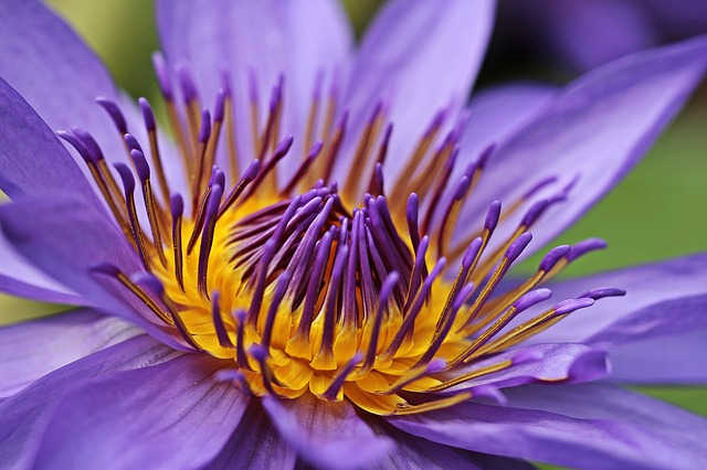 water-lily-2334163_640.jpg