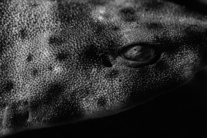 Swell shark.  Nikon D850  and  Nikon 105mm ƒ/2.8 ,  Ikelite DS160 strobes . 1/200, ƒ/16, ISO 200.