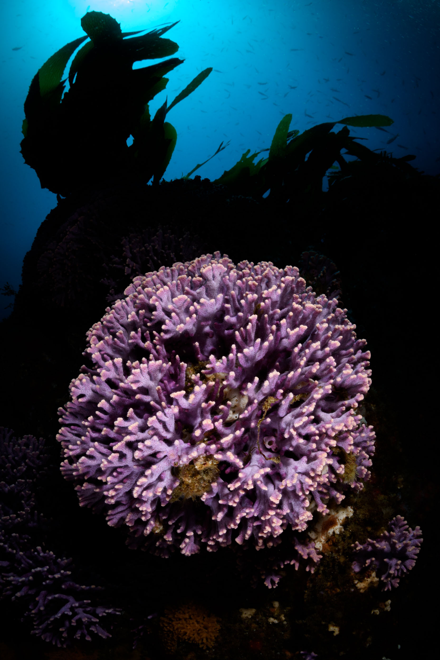 Purple hydrocoral at Farnsworth Bank, Catalina Island, California. No lighting trickery or fancy snoot gadgets here … just good, old-fashioned strobe positioning.  Nikon D810 , Nauticam housing,  Sigma 15mm fisheye lens ,  Nauticam 140mm mini dome , dual  Ikelite DS160 strobes . 1/125, ƒ/16, ISO 400.