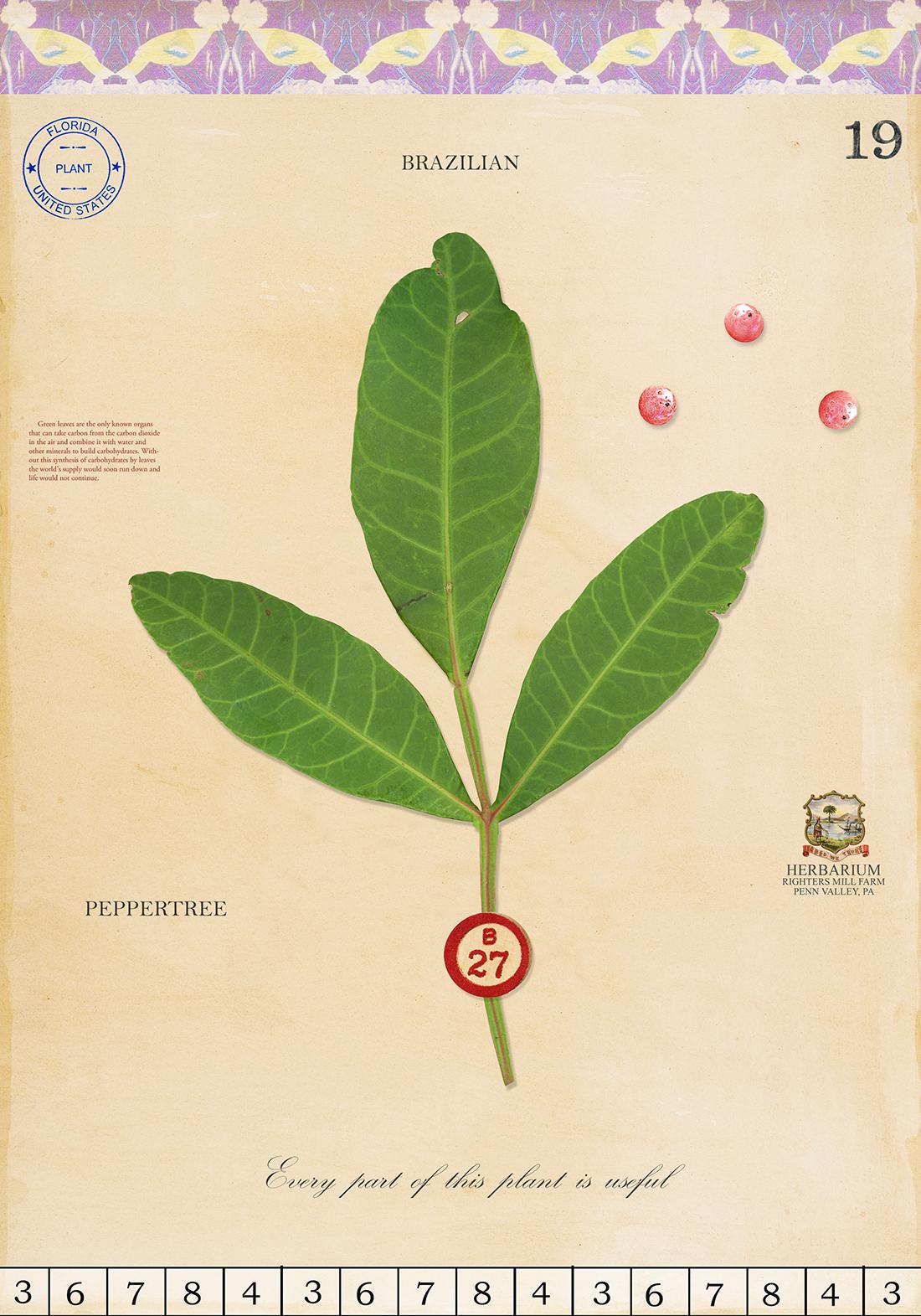Brazilian Peppertree - 20x14