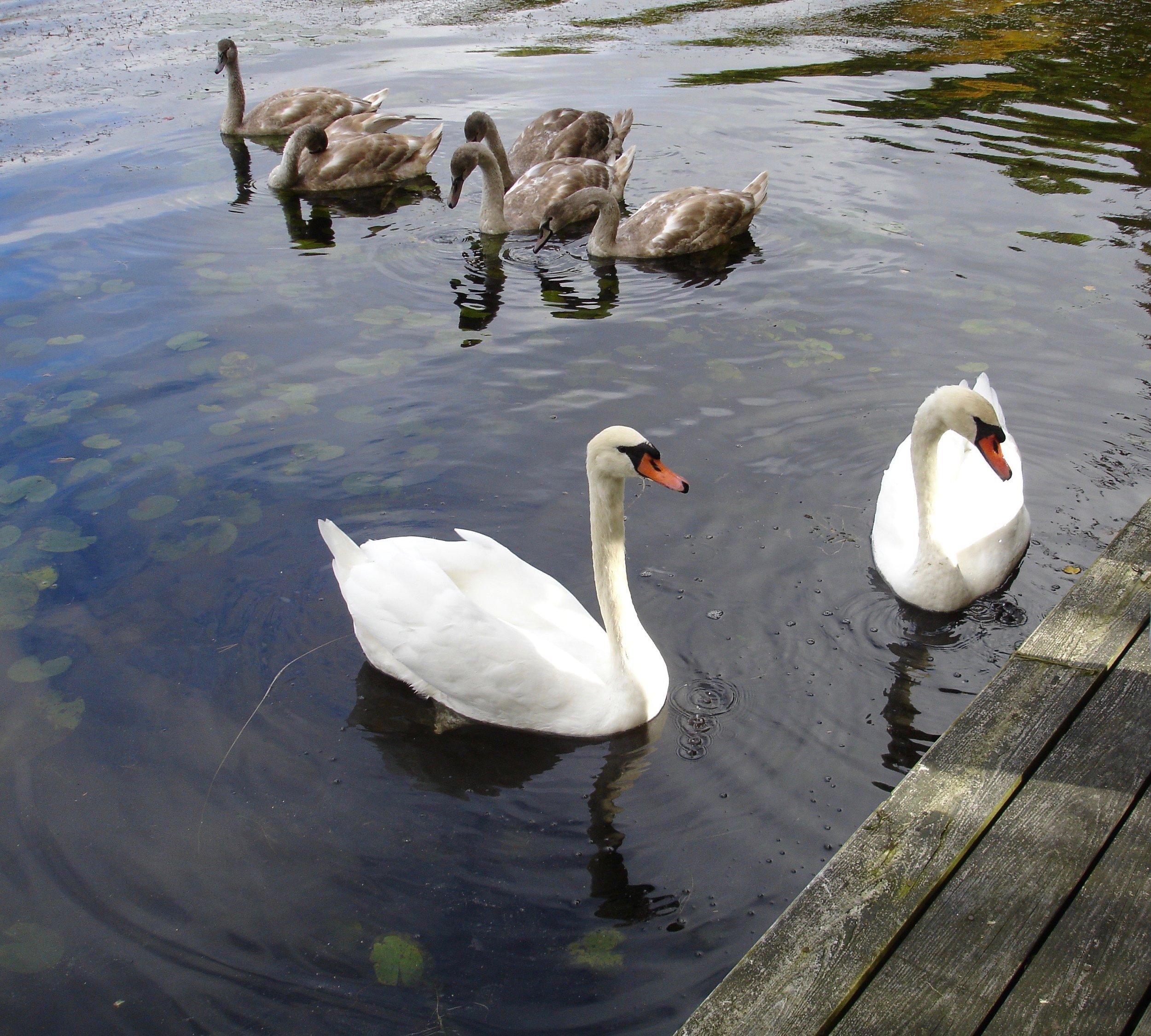 Swans Oct 2005.jpg