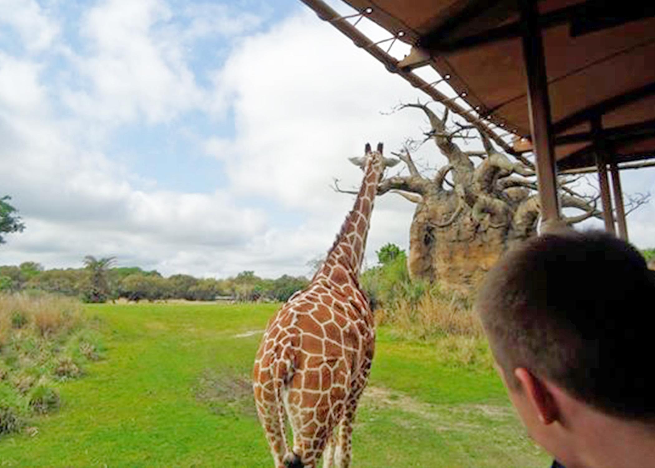 giraff animal kingdom.jpg