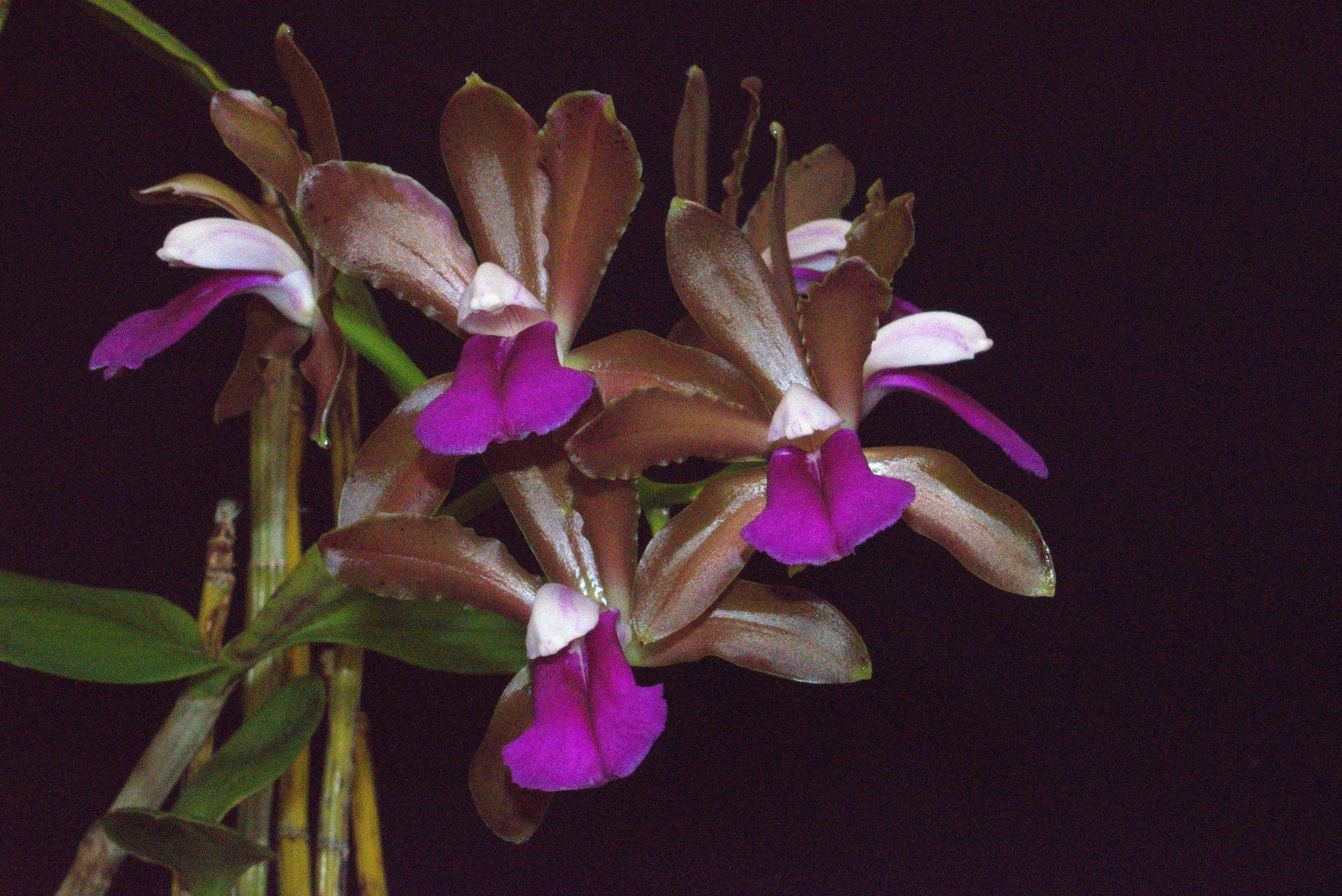 C bicolor