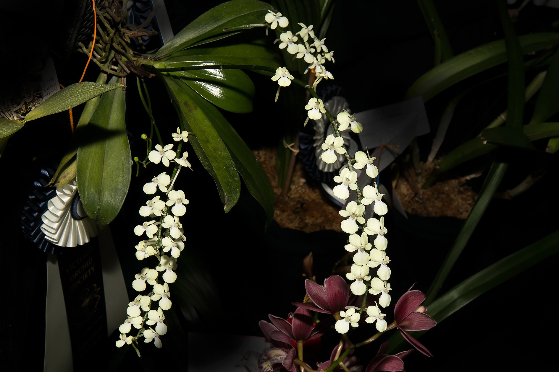 Arranges citrate - Best in Angraecum Group & Best Mounted (Alexey T.)