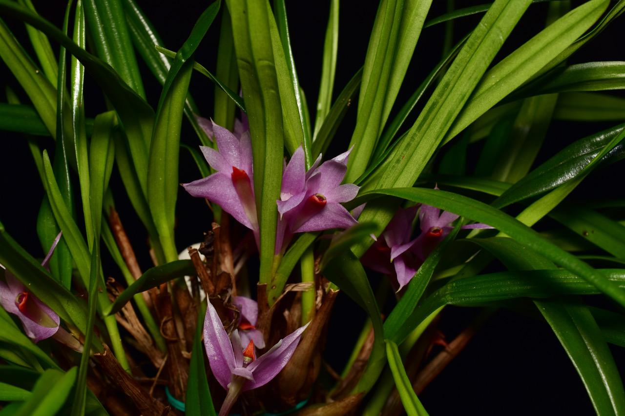 D. Violaceum