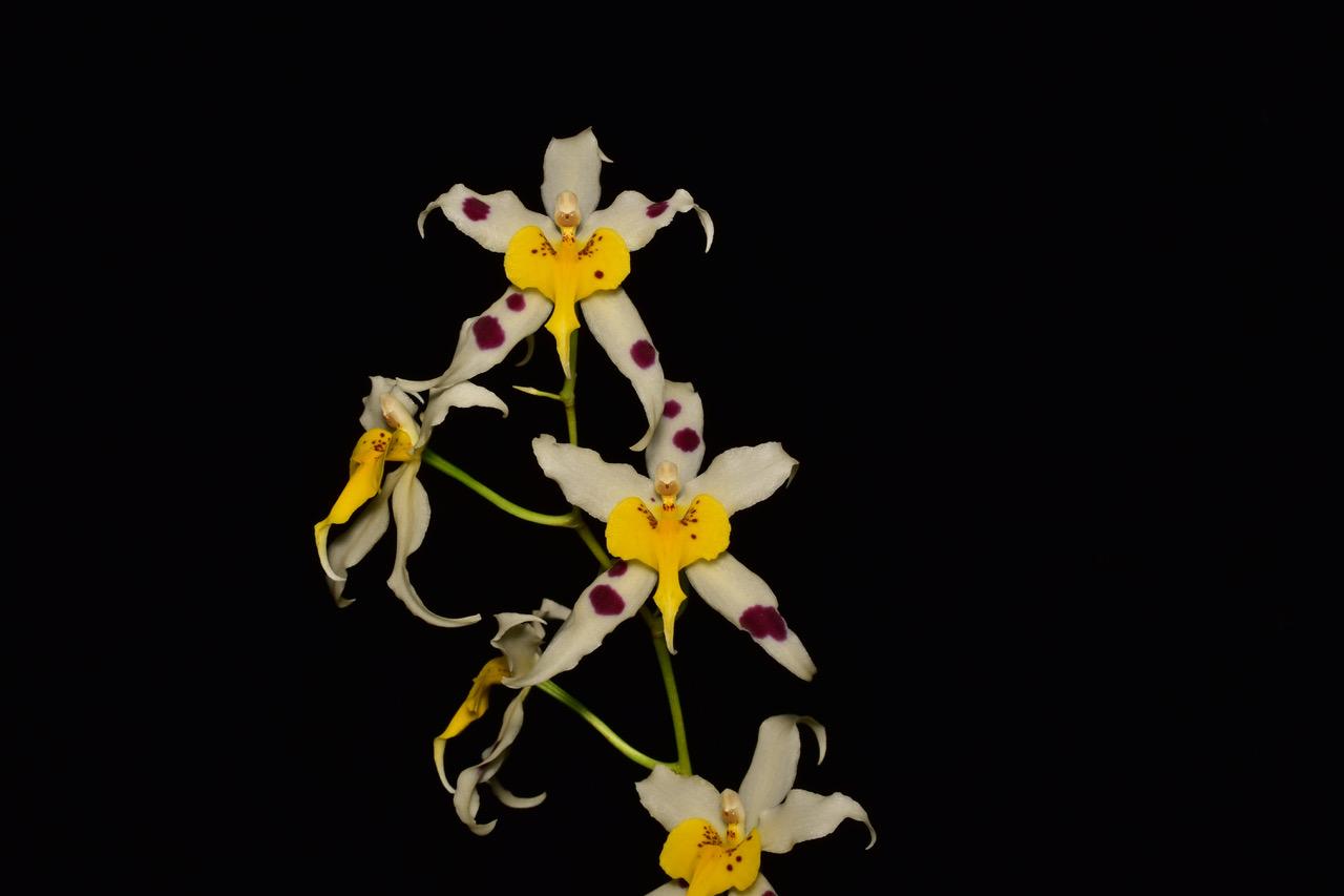 "Oncidium Serendipity ""Mellow Yellow"""