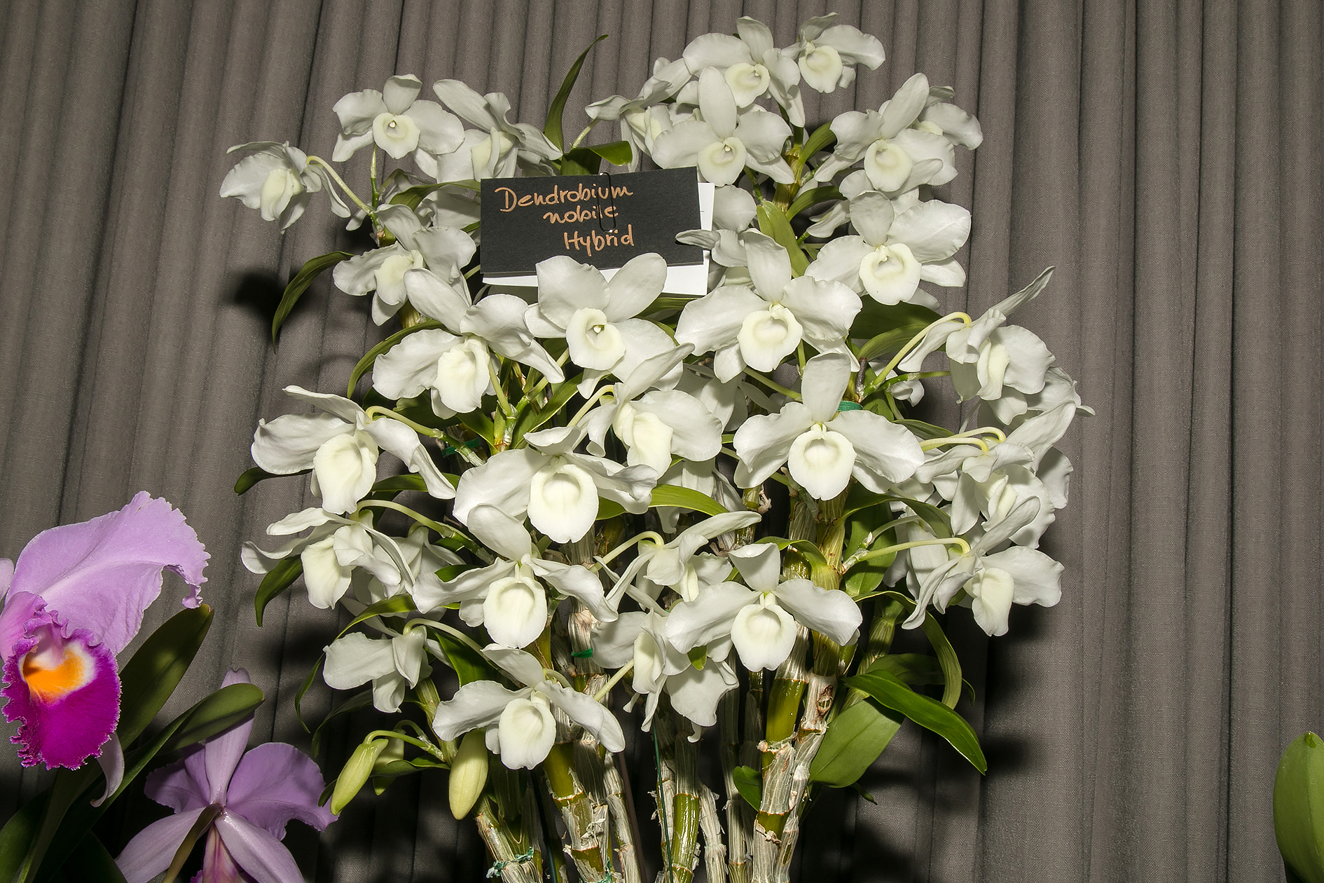 Best in Show - Dendrobium Noble Hybrid