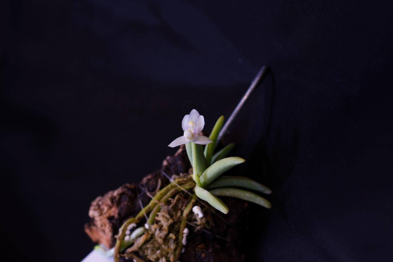 Brachypeza semiteretifolia