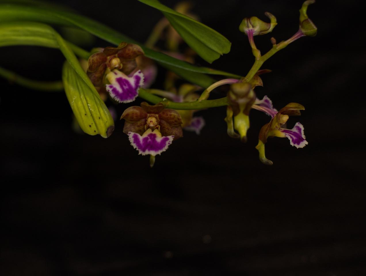 Aeridis flabellata