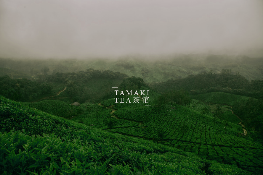tamaki picture tea field.png