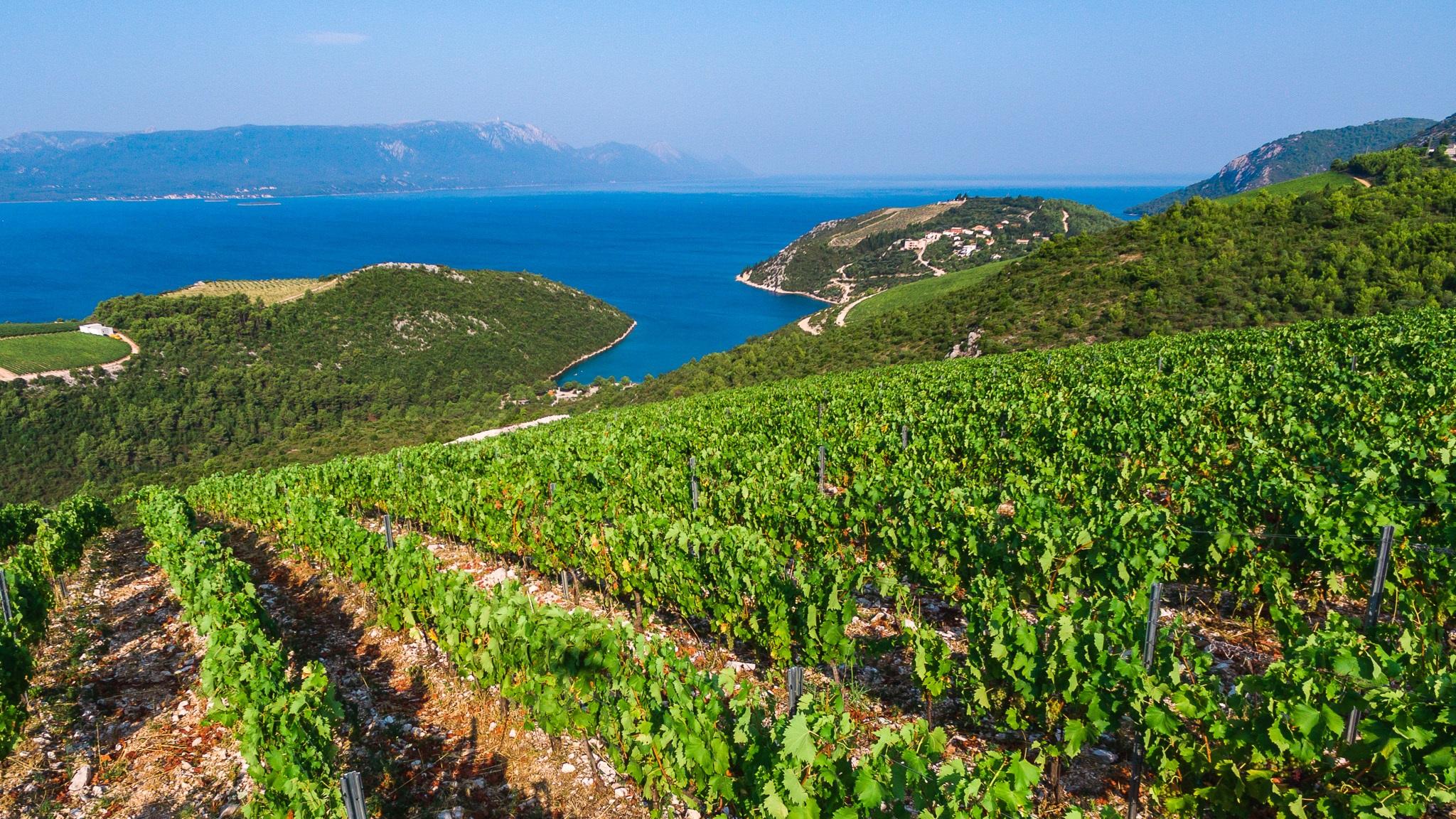 vinograd rizman - 014.jpg