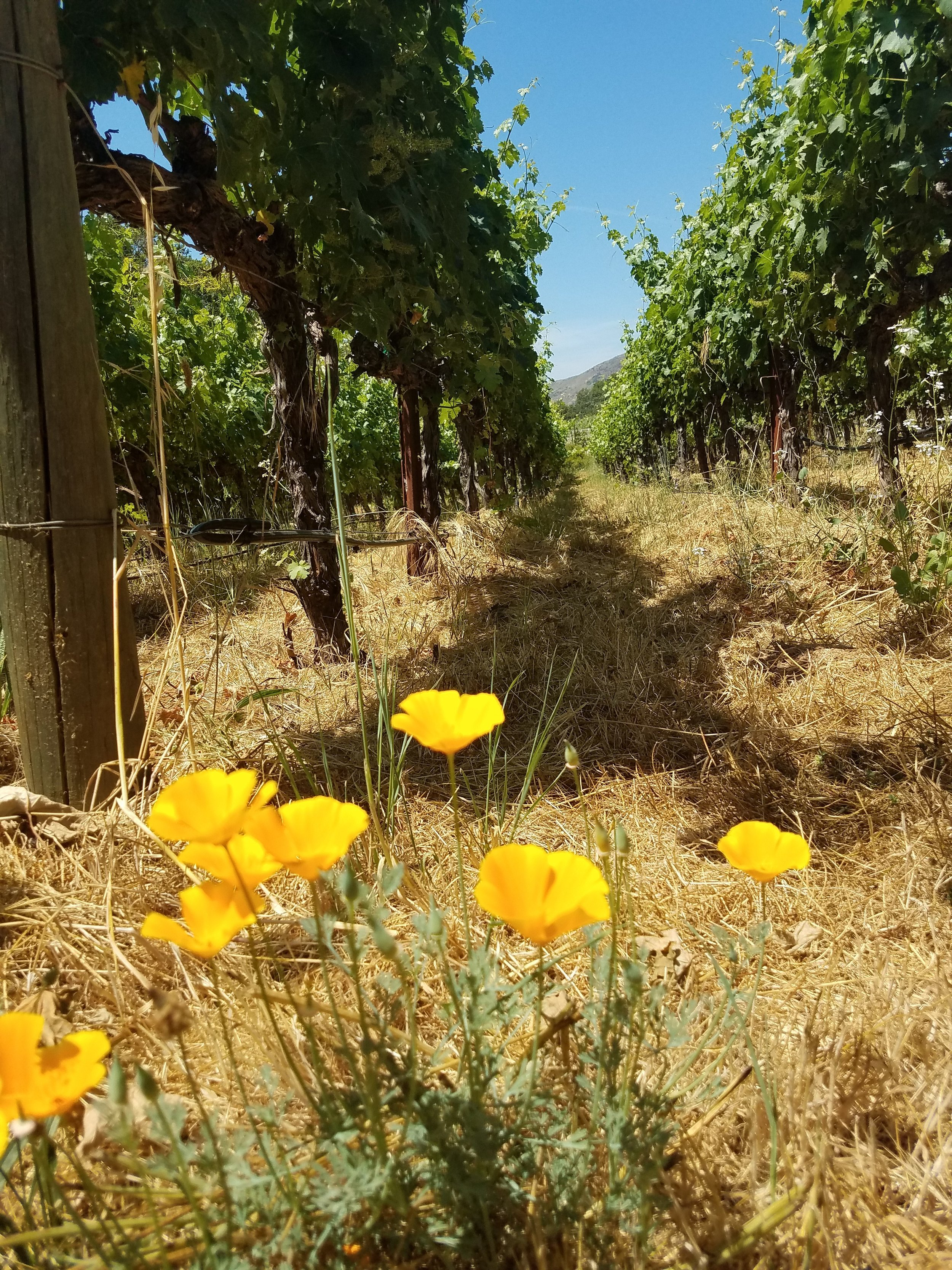 Our Oak Canyon Ranch vineyard is lovingly farmed and never even sees a tractor.