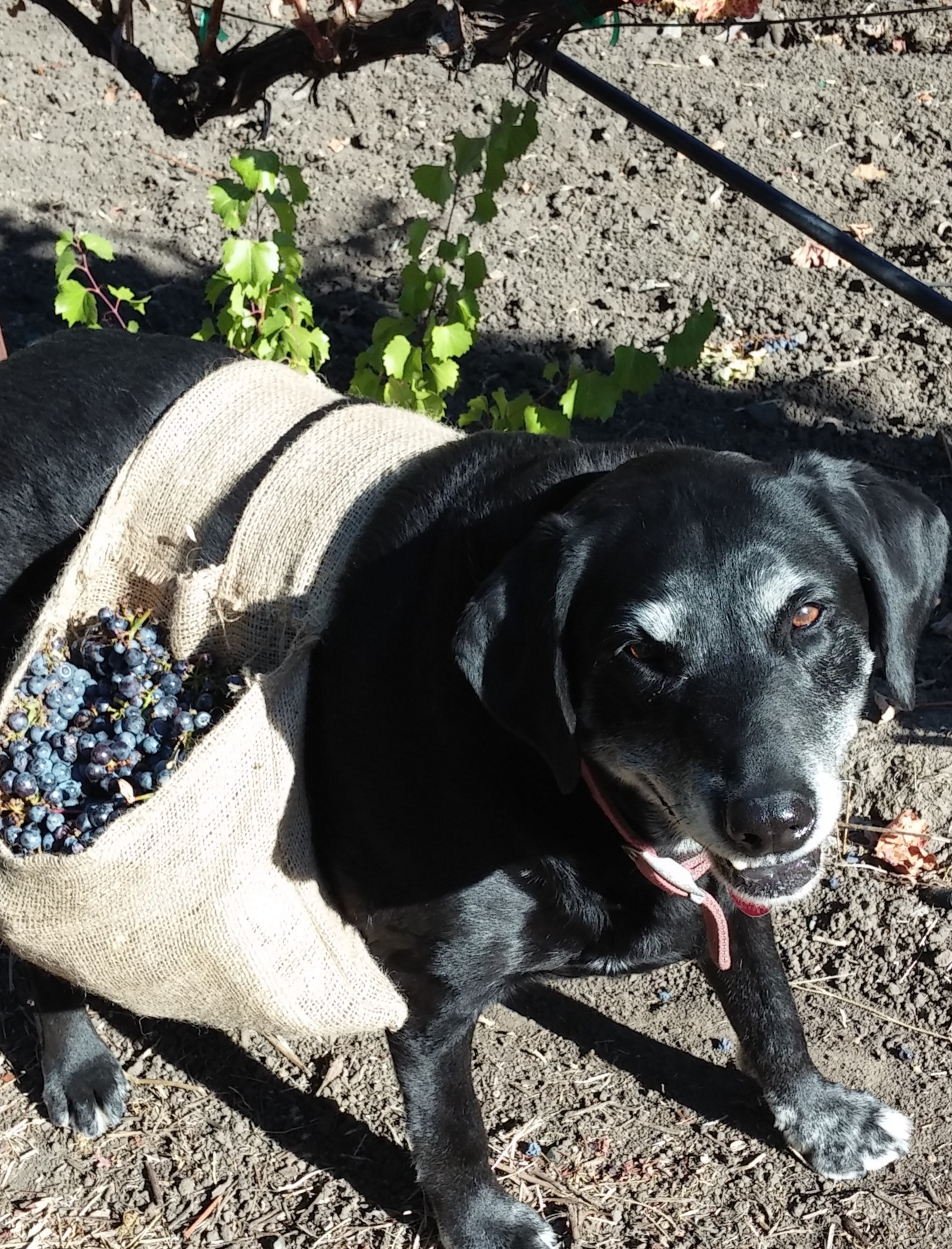 Trigger - A great winery dog, 2003-2016