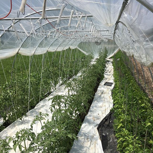 6 different varieties of tomatoes, 2 types of sweet peppers and 2 types of bell peppers are packed in this tiny tunnel.