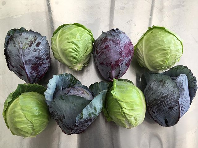 Cabbages are finally here! See you tonight for CSA and Farm stand.