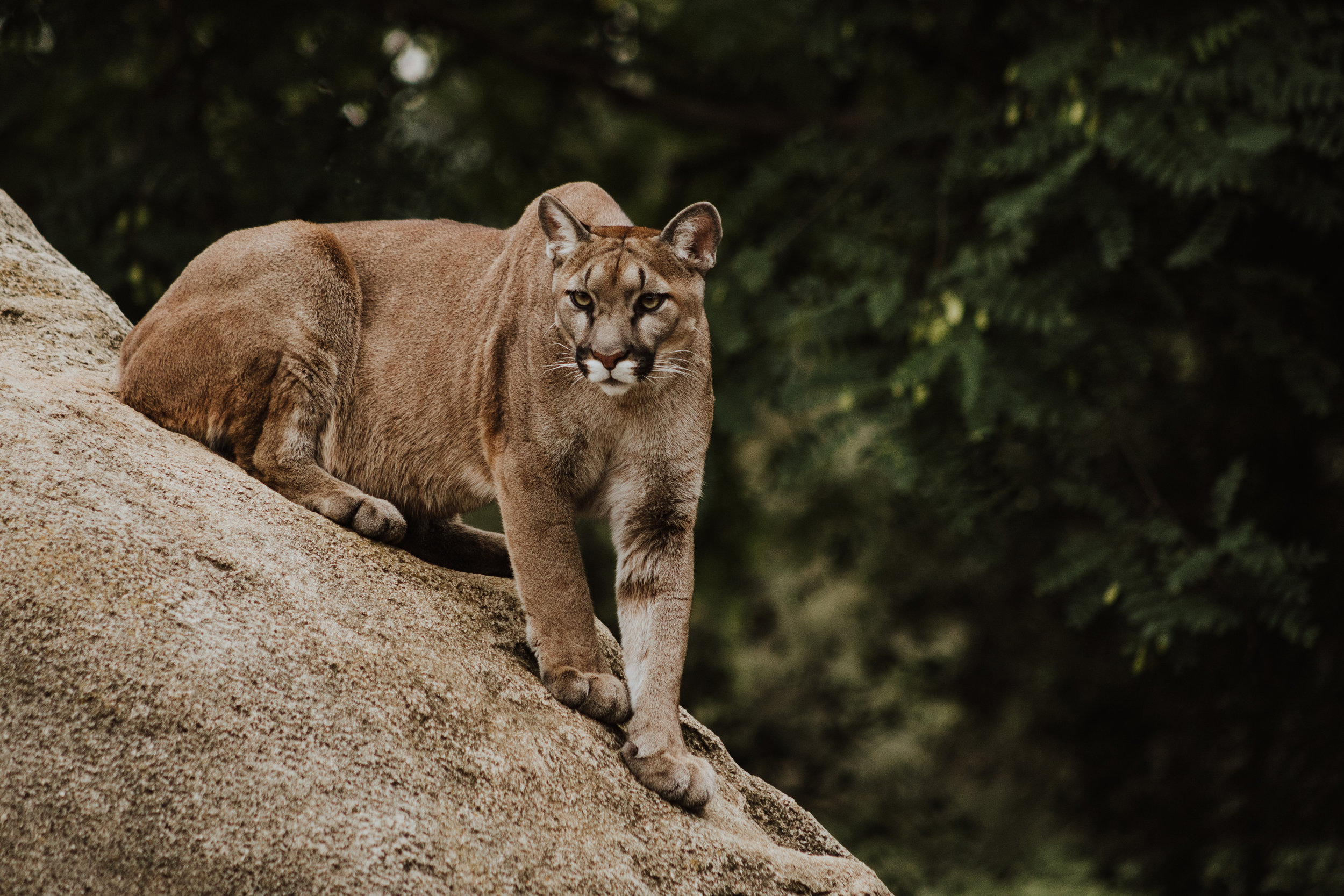 Click here for lion safety info from Colorado Parks and Wildlife.
