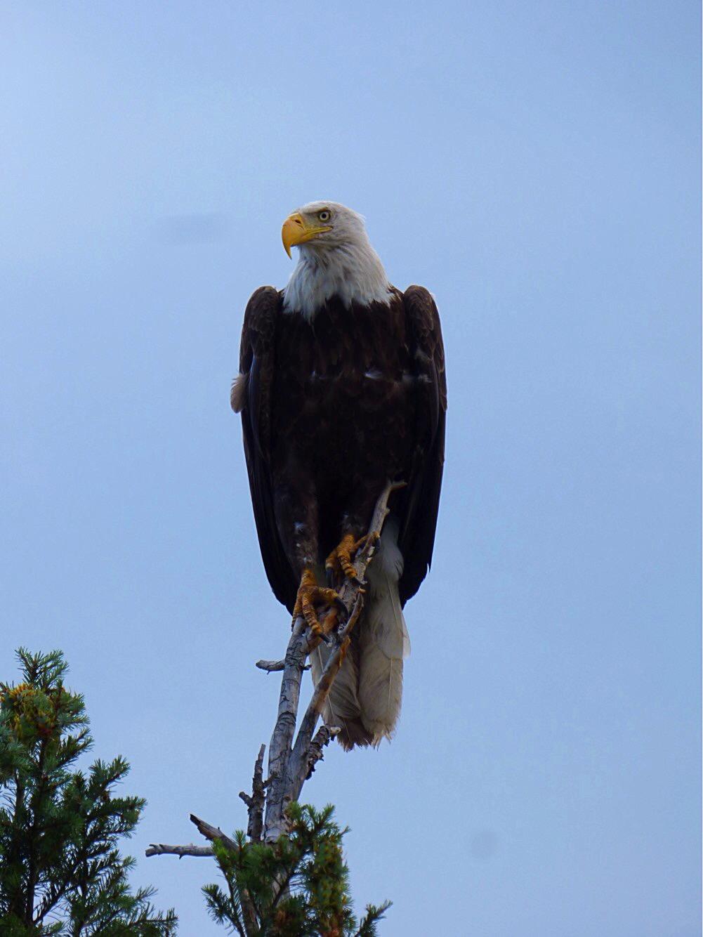 bald eagle 18'.JPG