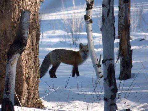 red fox .jpg