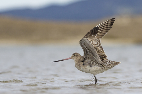 The kuaka, or bar-tailed godwit, has a strong sense of place. This resilient bird undertakes one of the longest known migrations with an annual 11,000 km non-stop migration from the Arctic to New Zealand. Kuaka fly in a flock, taking turns between leading the pack and supporting the leader. Image sourced from  iNaturalist
