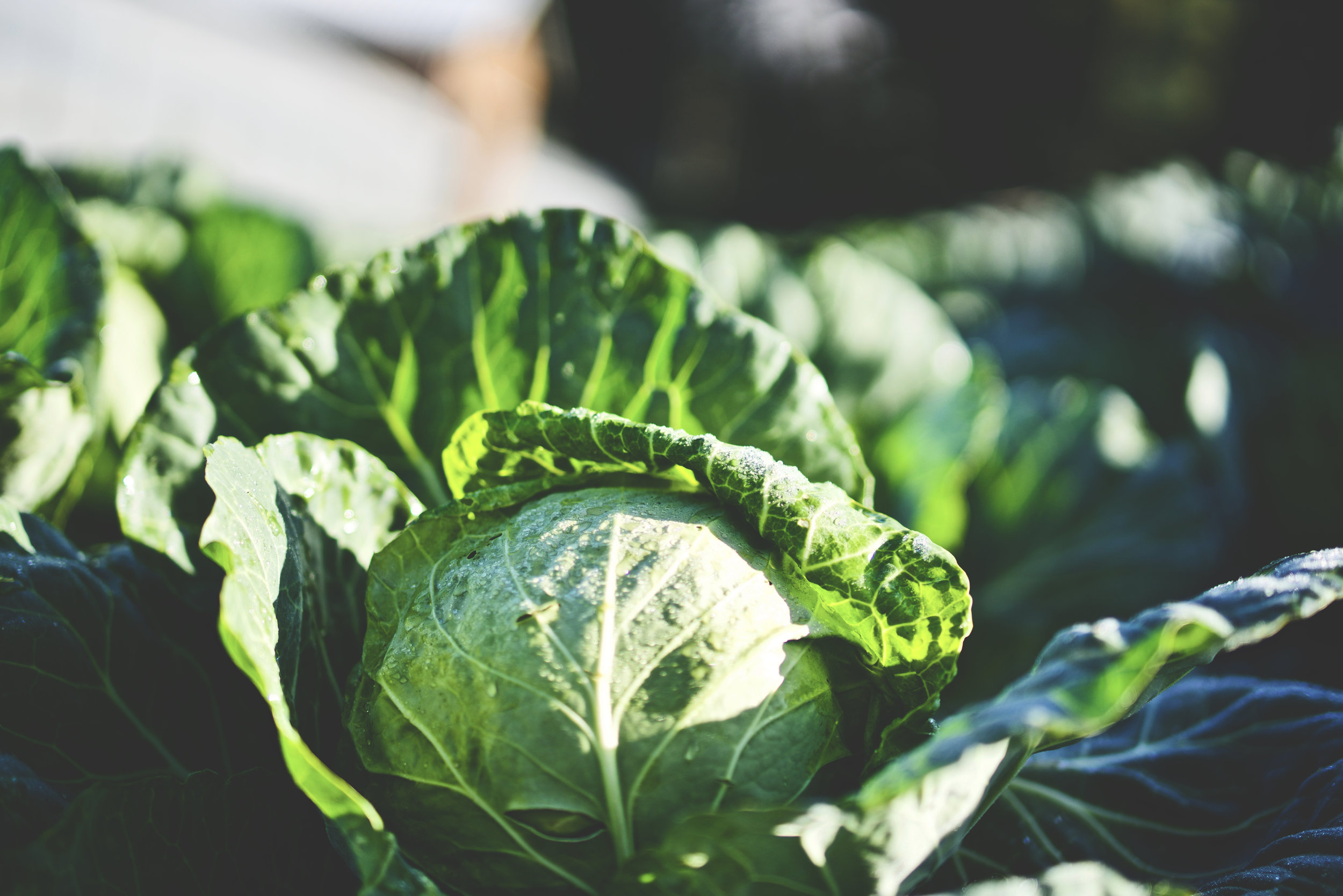Cabbage - Cabbage is high in fiber, antioxidants, Vitamin C, and Vitamin K. The antioxidants found in cabbage have been shown to help reduce chronic inflammation.